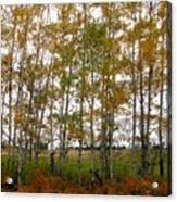 Aspen in Fall Acrylic Print
