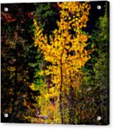 Aspen In Hope Valley Acrylic Print
