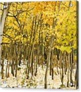 Aspen In Snow Acrylic Print
