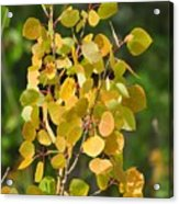 Aspen Leaves Acrylic Print