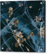 Aspen Leaves Frozen In Lake Acrylic Print