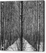 Aspen Rows Acrylic Print