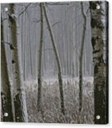 Aspen Stand In A Snowstorm Acrylic Print