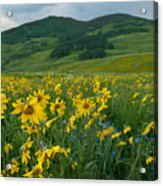 Aspen Sunflower And Mountain Landscape Acrylic Print