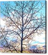Aspen Tree At Sunset Acrylic Print