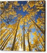 Aspen Tree Canopy 3 Acrylic Print
