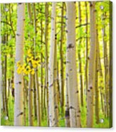 Aspen Tree Forest Autumn Time Portrait Acrylic Print