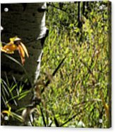 Aspen Tree With Grasses Acrylic Print