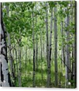 Aspen Trees Colorado Acrylic Print