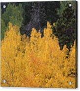 Aspen Trees In Full Bloom Acrylic Print