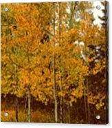 Aspen Trees With Autumn Leaves  Acrylic Print