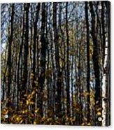 Aspen Trunks 2 Acrylic Print