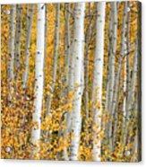 Aspen With Fall Color Acrylic Print