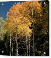 Aspens And Sky Acrylic Print