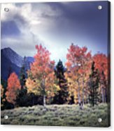Aspens In Autumn Light Acrylic Print