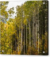 Aspens In Autumn Acrylic Print