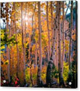 Aspens In Fall Color Acrylic Print