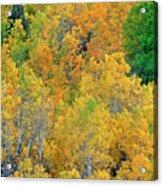 Aspens In Fall Eastern Sierras California Acrylic Print