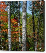 Aspens In Fall Forest Acrylic Print