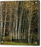 Aspens In The Fall Acrylic Print
