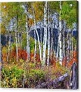 Aspens Meet Autumn Acrylic Print