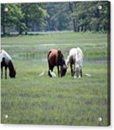 Assateague Island - Wild Ponies And Their Buddies  Acrylic Print