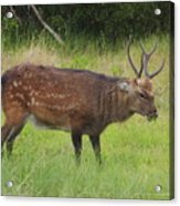 Assateague Sitka Deer Acrylic Print