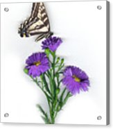 Aster and Butterfly Acrylic Print