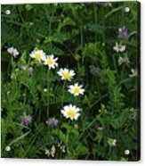 Aster And Daisies Acrylic Print