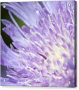 Aster Bloom Acrylic Print