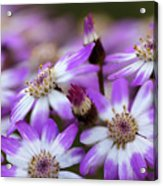 Aster Delights Acrylic Print