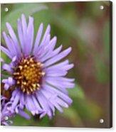 Aster Flower Acrylic Print
