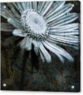 Aster On Rock Acrylic Print
