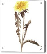 Asters Flowers, Abstract Flower Yellow Wall Decor, Dandelion Watercolor Painting Acrylic Print
