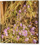 Asters In Autumn Acrylic Print