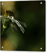 Aster's Peripheral Ray Acrylic Print