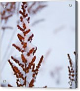Astilbe Aglow In The Snow Acrylic Print