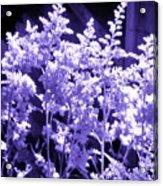 Astilbleflowers In Violet Hue Acrylic Print