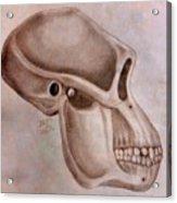 Astralopithecus Afarensis Cranium Acrylic Print