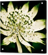 Astrantia In Bloom Acrylic Print