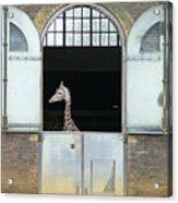 Asymmetrical Giraffe  Acrylic Print