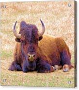A Buffalo Staring Acrylic Print