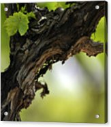 At Lachish Vineyard Acrylic Print