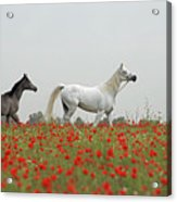At The Poppies' Field... Acrylic Print