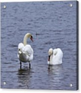 At Your Service. Mute Swan Acrylic Print