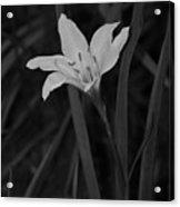 Atamasco Lily II Acrylic Print