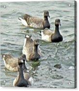 Atlantic Brant Geese - Branta Bernicla Hrota Acrylic Print