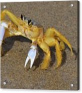 An Atlantic Ghost Crab Playing In The Tide 3 Acrylic Print