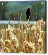Atop The Cattails Acrylic Print