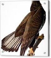 Audubon: Bald Eagle Acrylic Print